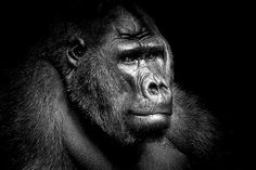 Wolf Ademeit, Gorilla Portrait, 2008 / 2014 © www.lumas.com #lumas