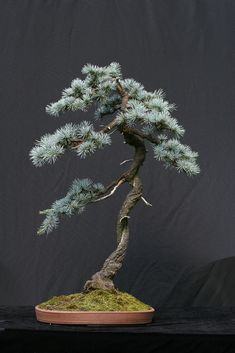 Blue Atlas Cedar | by candyjshirey
