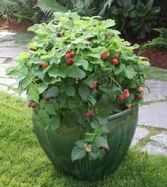 Raspberry Shortcake™ Raspberry - perfect compact thornless raspberry for containers and small garden spaces / Armstrong Garden Centers