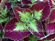Coleus Atlas - needing some bright green and deep purple