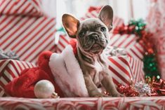 brindle French bulldog puppy in Santa hat Christmas Puppy Bulldog Puppies, Cute Puppies, Cute Dogs, Frenchie Puppies, Yorkie Puppy, Animals And Pets, Cute Animals, Brindle French Bulldog, French Bulldogs