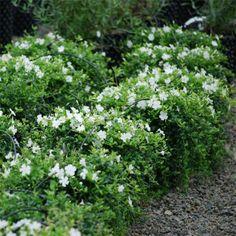 Vinca minor alba - syn Gertrude Jekyll - 6 PACK | Johnstown Garden Centre, Ireland