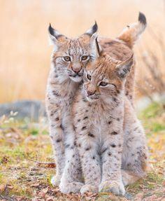"beautiful-wildlife: "" Sisters by © Cecilie Sønsteby 4 months old Eurasian lynx sisters """