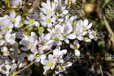 This White Gentian Flower is the Gentianella Patula. It is endemic to. Native Plants, Image Now, Flora, Royalty Free Stock Photos, Photography, Beautiful, Photograph, Fotografie, Plants
