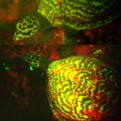 September 2015 Glow in the dark sea turtle. A team of marine biologists from National Geographic recently set off to the Solomon Islands to research the coral reefs there. Instead what they found was a discovery that has lit up the scientific community no pun intended of course. Lead researcher David Gruber noticed what he called a UFO swimming in the water late one night. The UFO turned out to be something Gruber and his team could have never imagined a biofluorescent sea turtle.   The…