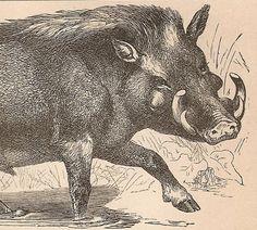 German wild boar