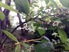 This flowering tree is sometimes called the Bee Tree because it is favored by bees due to having pollen that produces very sweet honey. May Flowers, Wild Flowers, Spring Wildflowers, April Showers, Flowering Trees, The Great Outdoors, Bees, Honey, American