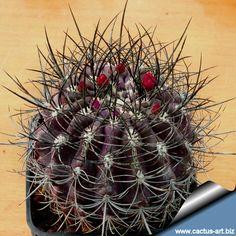 Eriosyce senilis subsp. coimasensis FR473