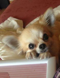 Evie begging, chihuahua, cute