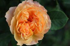 ギヨー(GUILLOT)のバラ、ジェネローサシリーズのひとつ。ジェヌヴィエーヴ・オルシ - Genevieve Orsiさんです!コピスガーデンの秋のお庭でそれはそれは、素敵に咲いてくれています。見る角度によって微妙に色を変える花は非常に美しく、その上品な香りも格別です。 強健で花付きが良く、美しい花が咲きそろう姿は見事。 ティーの香りを基調に、バニラ、クローブ、タンジェリン、アプリコットの香りが混じります。作出年:2009...