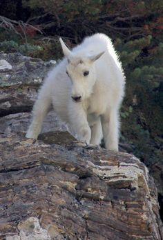 Baby Mountain Goat 8/18/12 Glacier National Park
