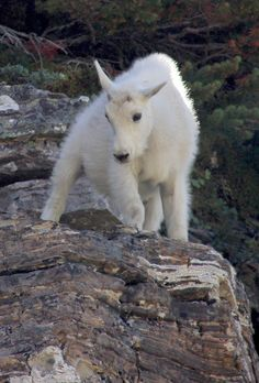 Baby Mountain Goat 8/18/12 Glacier National Park