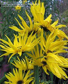 Prairie Sunflower 'Santa Fe' (Helianthus maximilianii)