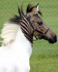 It's not just puggles and schnoodles monopolizing the hybrid animal market. Three weeks ago, a zebra/horse hybrid made its way to the Stukenbrock safari park from Italy. The Zebroid or Zorse's mother is a zebra and her father is a horse. She probably won't be able to reproduce herself since equine hybrids are infertile.People have been cross-breeding zebras and horses since colonial times, but Eclyse's coloring is unusual for such hybrids. She has über distinct makings.