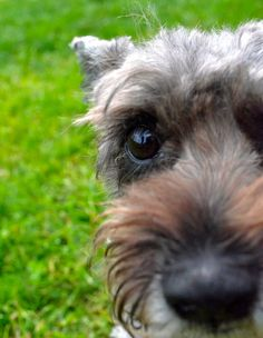 You want to adopt me! Schnauzer, Adoption, Babies, Dogs, Animals, Foster Care Adoption, Babys, Animales, Animaux