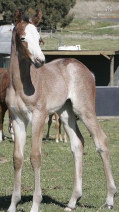 """Winning Colors"" - one of the rarest colors in thoroughbreds is true roan. Winning Colors Farm in Australia purchased Lilac Hill and this is her first foal for them. She is a bay frame overo... talk about rare. She is the only one in the world with that combo!"