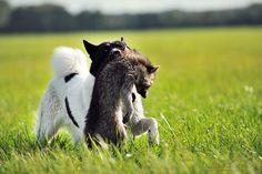 Russisch-Europäische Laika - julia kauer jagdhunde fotografie