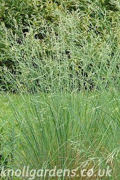 Poa labillardierei | Knoll Gardens | Ornamental Grasses and Flowering Perennials
