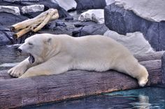 The polar bear is a bear native to the Arctic Ocean and its surrounding seas. The world's largest predator found on land, an adult male weighs around 660–1,300 lb