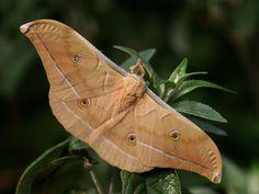 Chinese Oak Silkmoth Antheraea pernyi