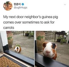 """30 Pleasant Posts That Are Brimming With Positivity - Funny memes that """"GET IT"""" and want you to too. Get the latest funniest memes and keep up what is going on in the meme-o-sphere. Cute Little Animals, Cute Funny Animals, Funny Cute, Hilarious, Baby Guinea Pigs, Guinea Pig Care, Guinea Pig Funny, Pet Pigs, Hamsters"""