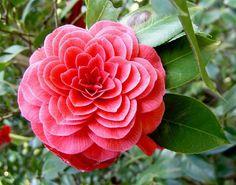 Camélia - Geometria da natureza
