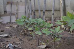 FRESH veganic tomatoes growing..