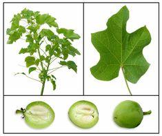 Tubang bakod / kasla / Jatropha curcas / PURGING NUT TREE, BIG-PURGE NUT: Philippine Alternative Medicine / Medicinal Herbs / StuartXchange
