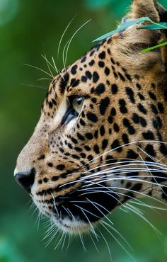 The wild big cats - Jaguar Nature Animals, Animals And Pets, Cute Animals, Beautiful Cats, Animals Beautiful, Big Cats, Cats And Kittens, Gato Grande, Majestic Animals