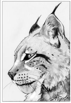 """The Outside Story: """"Return of the Missing Lynx"""" by Susan Shea. Illustration by Adelaide Tyrol. """"In the northern forest of New England, a big gray cat crouches silently in a dense thicket of fir along a snowshoe hare run. Its pointed ears, topped with long tufts of black hair, twitch as it listens intently. The cat's face is framed by a fur ruff and its yellow-green eyes are alert for movement…"""""""