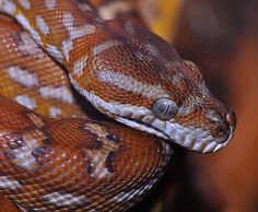 Bredl's Python (Morelia bredli) | Flickr - Photo Sharing!