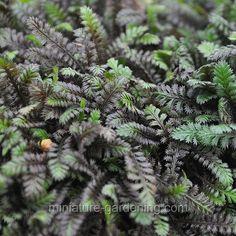 Leptinella squalida, Platt's Black, Brass Buttons - $3.99