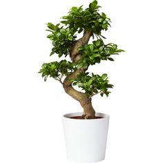 Bonsaifikus med S-form - Plantasjen.no