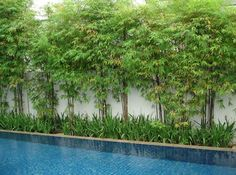 Pool Privacy Ideas screen shot 2014 10 01 at 72426 pm Poolside Bamboo Privacy Screen Could Work Along Fences Instead Of Trees Pool Ideasbackyard