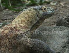 By jhs dragon Toronto Zoo, Animals, Dragons, Animais, Animales, Animaux, Animal, Dieren