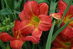 Red Rum Daylily