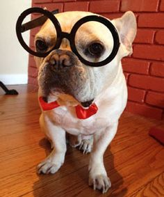 We put our resident Frenchie to the test with the Mr. Peabody and Sherman IQ test. Watch the video.