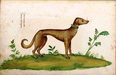 Animal - Dog - Greyhound - Italian (2)