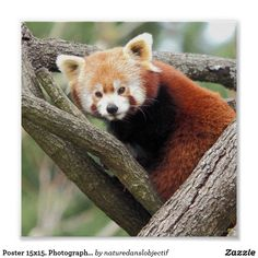 Poster 15x15. Photography Red Panda
