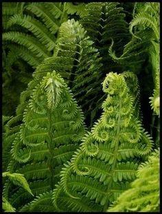 Fractals in nature, beautiful fern leaves Shade Garden, Garden Plants, Potted Plants, Moss Garden, Fern Forest, Forest Plants, Shade Plants, Patterns In Nature, Fractal Patterns