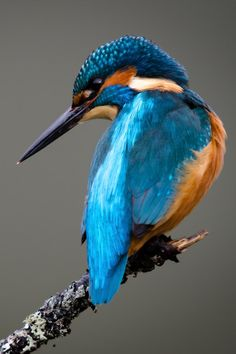 "brazenbvll: "" Kingfisher : (©) """