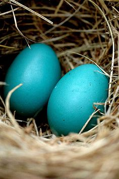 Detail of robin's eggs in a nest.