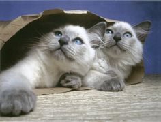 Seeing double! (Lilac Point Birman Cats)