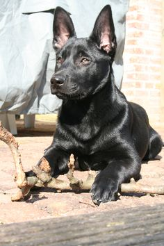 Black malinois puppy