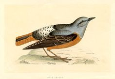 c.1865 Rock Thrush Antique Hand Colored Engraving (in its own time!) Morris History of British Birds by TransferofTreasures on Etsy https://www.etsy.com/listing/466677457/c1865-rock-thrush-antique-hand-colored