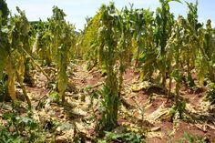 adj 3:¡Todo nuestro trabajo, perdido!- Toda la verdura y fruta que Lencho y su familia avia trabajado en se echó a perder.