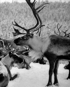 Reindeer near the town of Jokkmokk in Sweden, 1955. (Carl Mydans—The LIFE Picture Collection/Getty Images) #wildLIFEwednesday