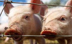 'What Have I Done?': Ex Pig Farmer Talks About the Reality of Killing Animals for a Living | Care2 Causes