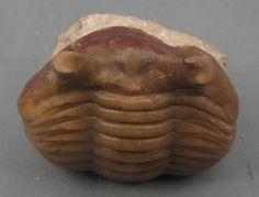 Asaphus Punctatus Trilobite Russia | eBay