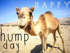 Happy Hump Day quotes quote days of the week wednesday humpday hump day camel wednesday quotes camels Wednesday Hump Day, Happy Wednesday Quotes, Quotes Friday, Happy Friday, Wednesday Memes, Hump Day Pictures, Work Pictures, Sports Pictures, Hump Day Quotes